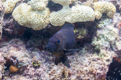 Yellowtail Damselfish Stock Photos