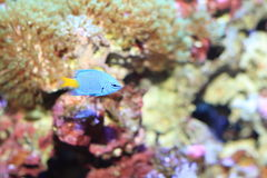 Yellowtail Damselfish Royalty Free Stock Photos