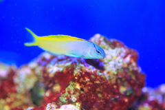 Yellowtail Fang Blenny Arkivbilder