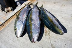 Yellowtail Fish. Fishing off the coast of San Carlos for Yellowtail in the Gulf of California in Senora Mexico Stock Photo