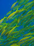 Yellowtail fish on Great Barrier Reef Australia. School of Yellow fish on Great Barrier Reef Australia stock image