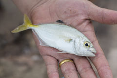 Yellowtail fish in hand Stock Images