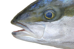 Yellowtail fish head Royalty Free Stock Photos