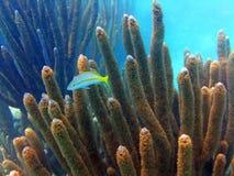Yellowtail (Jeugd) Snapper Royalty-vrije Stock Fotografie