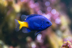 Yellowtail parasema Chrysiptera damselfish Στοκ Φωτογραφίες