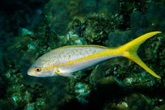 Yellowtail-Snapper Stock Images