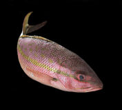Yellowtail snapper Royalty Free Stock Photos