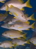 Yellowtail snapper Stock Afbeeldingen