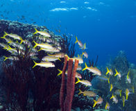 Yellowtail snapper. Underwater Bonaire - schooling yellowtail snappers Royalty Free Stock Image