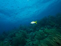 Yellowtail Snapper Royalty Free Stock Images
