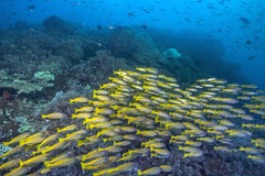 Yellowtail Snapper Fish Converge on Coral Reef Stock Image