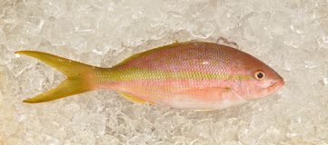 Yellowtail Snapper Fish On Ice Stock Photography