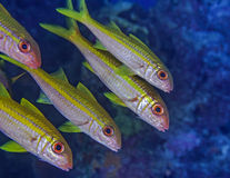 Yellowtail snapper fish lined in formation Stock Image