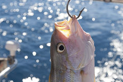 Yellowtail Snapper hooked on a boat Stock Image