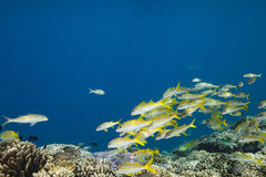 Yellowtail snapper Ocyurus chrysurus Royalty Free Stock Images