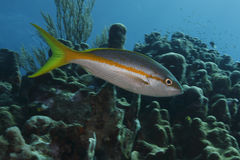 Yellowtail Snapper (Ocyurus chrysurus) Royalty Free Stock Photos