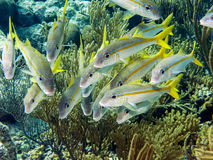 Yellowtail snapper, Ocyurus chrysurus Stock Photography