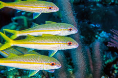 Yellowtail snapper, Ocyurus chrysurus Royalty Free Stock Image