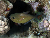 Yellowtail sweeper. In red sea Royalty Free Stock Photos