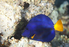 Yellowtail tang Stock Images