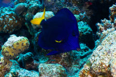 Yellowtail tang Royalty Free Stock Photography