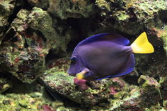 Yellowtail tang. Also known as purple tang stock photos