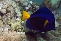 Yellowtail tang (zebrasoma xanthurum) Royalty Free Stock Photography