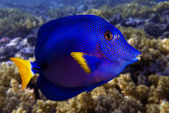 Yellowtail tang - (Zebrasoma xanthurum) close up  and coral reef - Red Sea Stock Images