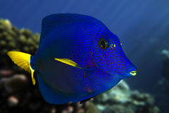 Yellowtail tang - (Zebrasoma xanthurum) close up Royalty Free Stock Photography