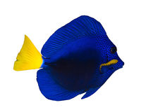 Yellowtail tang Stock Photos