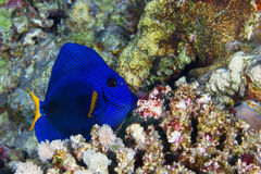 Yellowtail tang Royalty Free Stock Image