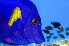 Yellowtail tang - (Zebrasoma xanthurum)- sea fish close up Royalty Free Stock Photo