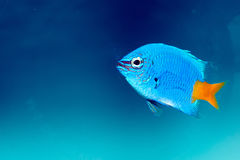 YellowtailDamselfish (den Chrysiptera parasemaen) Arkivfoton