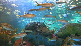 Yellowtailed Snapper and other fish swimming in a coral reef stock video footage