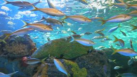 Yellowtailed Snapper and other tropical fish in a coral reef. Yellowtailed Snapper and other tropical fish by a coral reef stock video footage