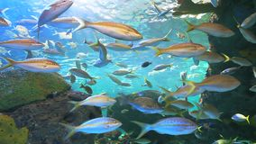 Yellowtailed Snapper swim with other tropical fish in a coral reef. Yellowtailed Snapper swim with other tropical fish by a coral reef stock footage