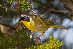Yellowthroat común Imagenes de archivo