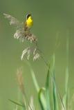 Yellowthroat común que canta Imagen de archivo