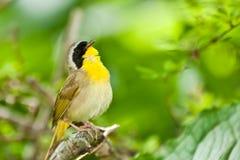 Yellowthroat commun Images libres de droits