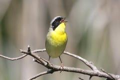 Yellowthroat comum (trichas do Geothlypis) Foto de Stock