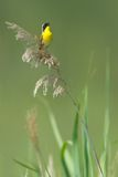 Yellowthroat comune che canta Immagine Stock