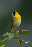 Yellowthroat comune che grida fuori Fotografia Stock