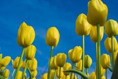 YellowTulips gegen den blauen Himmel Stockbild