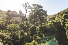Yellowwood drzewo w natury ` s dolinie w Południowa Afryka Zdjęcia Stock