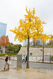 Yellowy Ginkgo tree in front of Osaka Castle in Osaka Stock Images