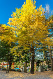 Yellowy Ginkgo tree Royalty Free Stock Photo