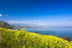 Yelloy flowers near sea of Galilee in sunny spring day. Beautiful Israel nature Stock Photography