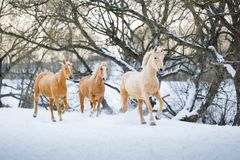 Yelloy horses running gallop in winter forest Royalty Free Stock Image