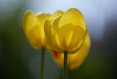 Yelloy tulips Royalty Free Stock Image