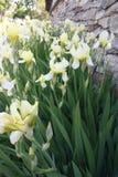 YellYellow цветет на зеленых толстых цветках stemsow на зеленых толстых стержнях на яркий день Стоковая Фотография